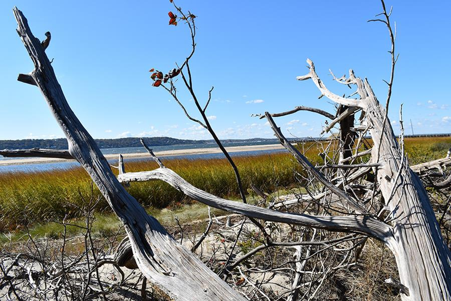 Saltwater intrusion from storms and ongoing sea level rise appears to be killing off Sandy Hook waterfront trees (Kevin Krajick, Earth Institute)