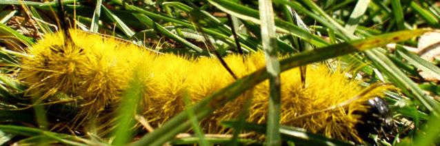 Image description: Bright yellow caterpillar within high green grass.