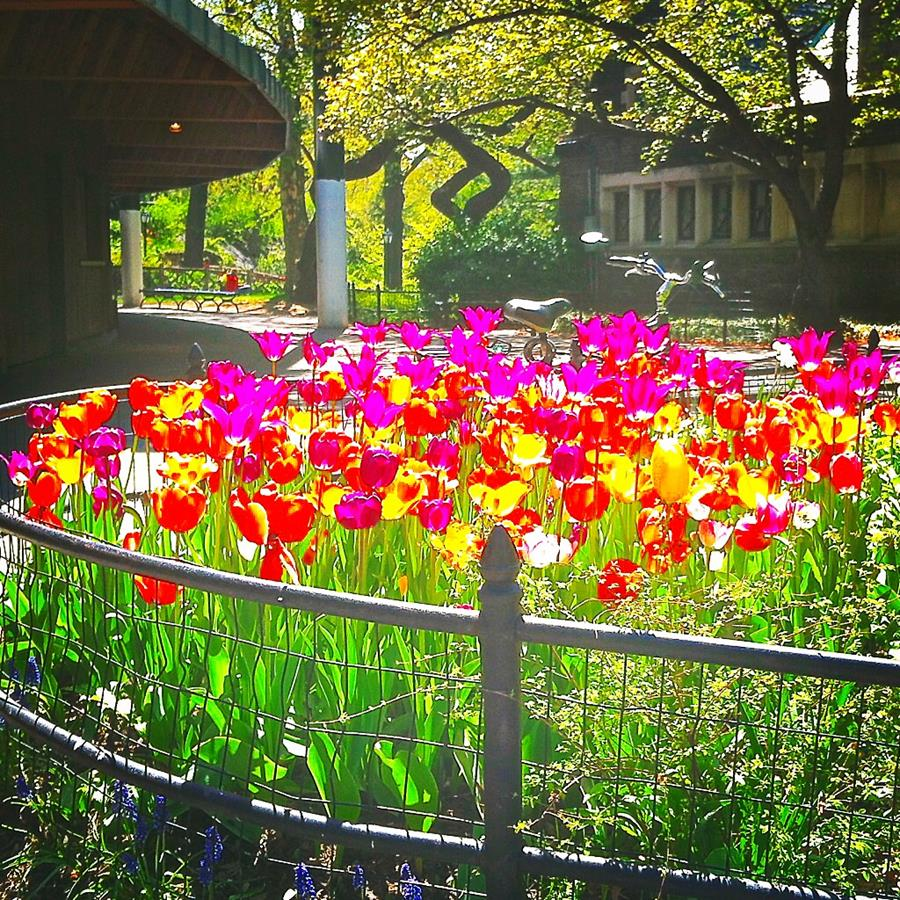 delacorte tulips