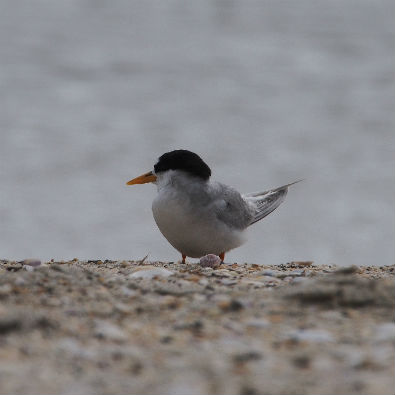 Fairy tern, Waipu Estuary. Photo by Rod Hay.