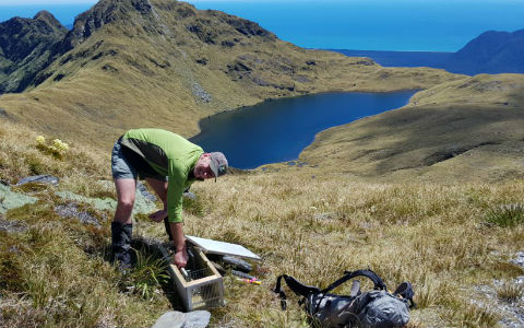 Resetting a stoat trap.