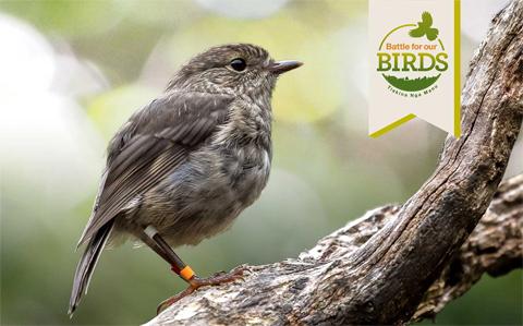 Juvenile North Island robin