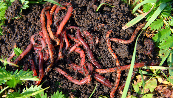 Picture of worms in the soil