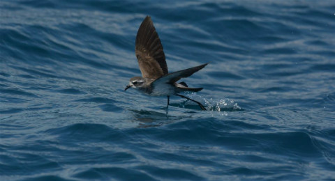 White-faced storm petrel on the water.