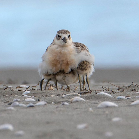 New Zealand dotterel/tūturiwhatu and its chicks