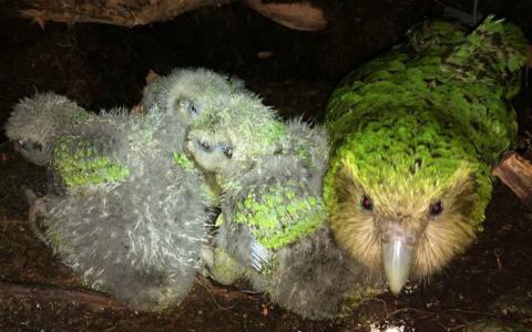 Kākāpō Hauturu & chicks.