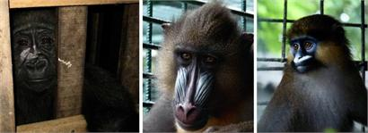 Gorilla, Mandrill and Moustached Monkey