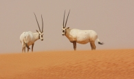 Emirates - Arabian oryx, Gordon's wildcat, et al.