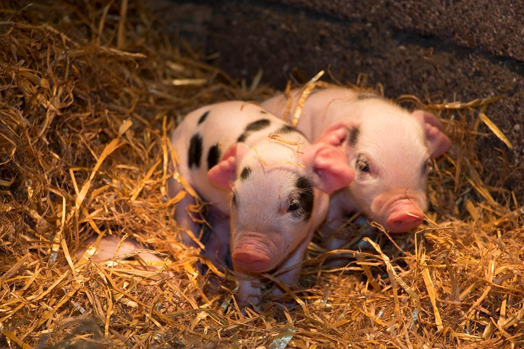 Piglets at Shallowford Farm