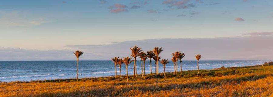 Photo by Doug Pearson of cabbage trees near the sea.