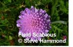 Field Scabious - one of the Mini Meadows wildflowers. Click for more minimeadow information.