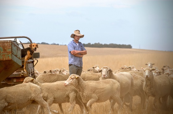 man in paddock surrounded by sheep