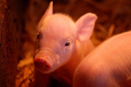 Piglets image