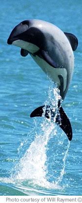 Hectors Dolphin Update