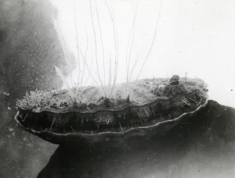 Underwater scallop