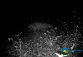 Trail camera image of moving Jaguar at night. © GESG.