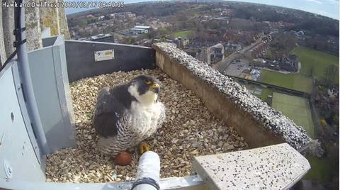 Peregrine Falcons perching