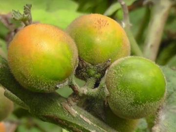 Naranjilla. © Fundación EcoMinga.