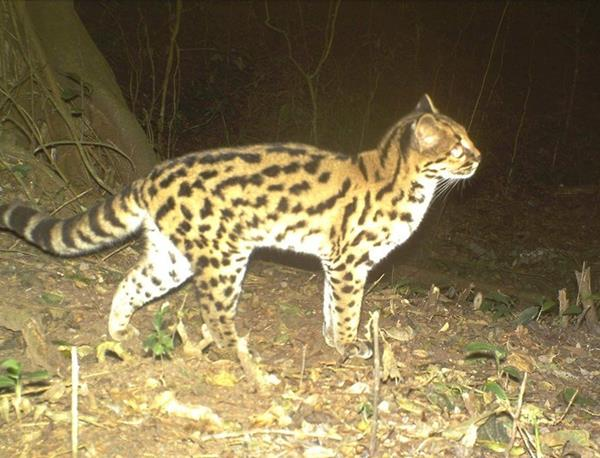 Margay at El Pantanoso (trail camera image). © Francesco Rocca.