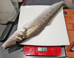 Large King George whiting laying on a weighing scale