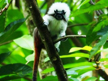 Cotton-top Tamarin. © Fundación ProAves.