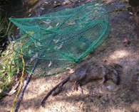 fish traps left in waterways drown wildlife such as the rakali