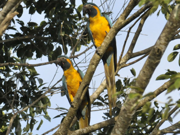 Blue-throated Macaws in Bolivia. © World Land Trust.