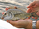Fisher holding a black bream