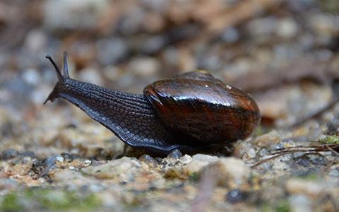 Powelliphanta augusta snail.