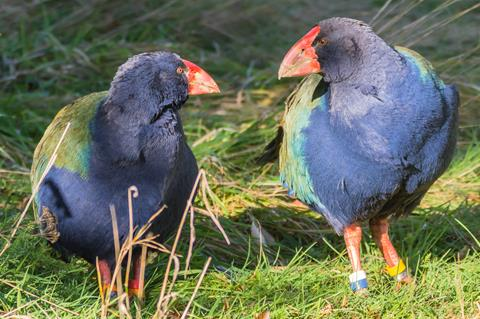 Takahē pair in the sun. Photo by A. Kohler