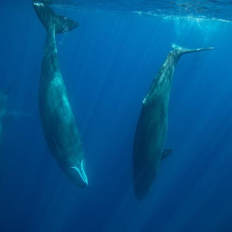 Sperm whales dive