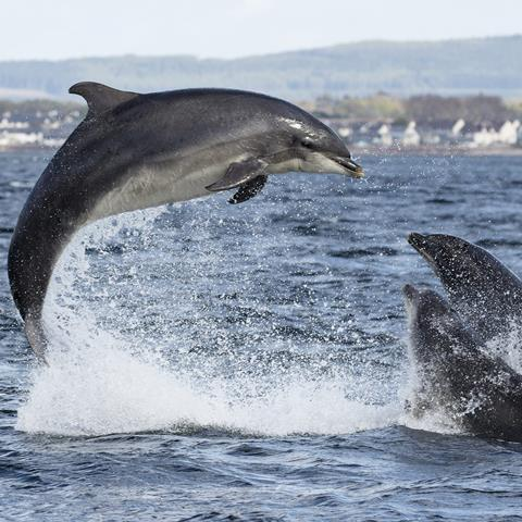 Dolphins breaching
