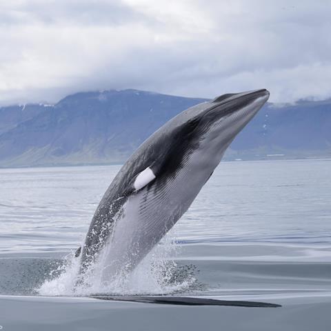 A minke whale breaches