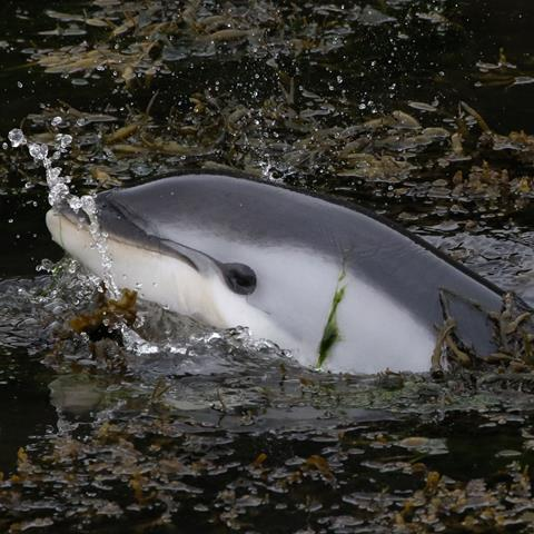 Baby dolphin trapped in kelp