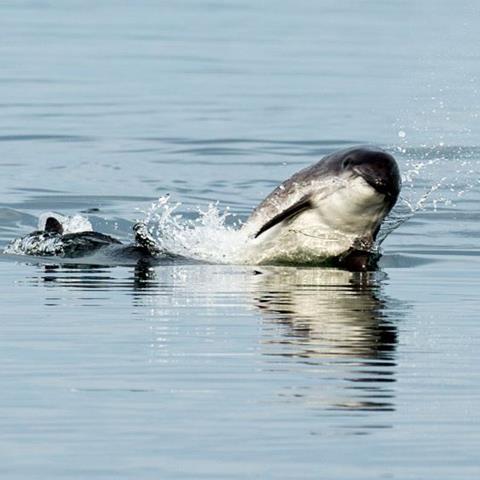 Breaching porpoise