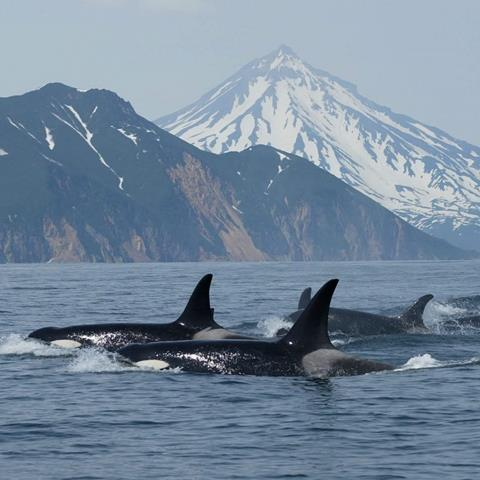 A group of orcas