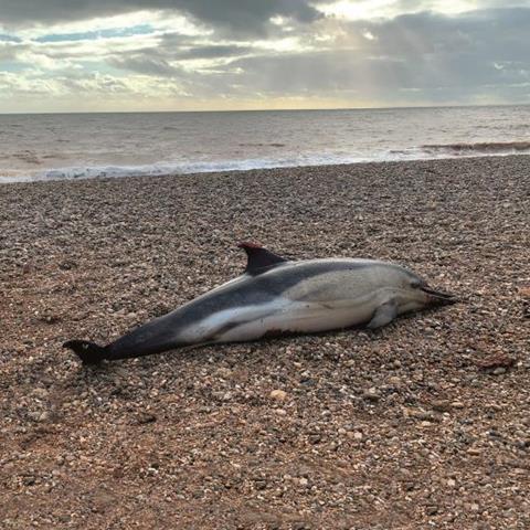Common dolphin on Branscombe Beach