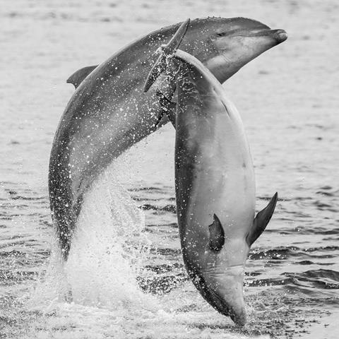Bottlenose dolphins off Scotland