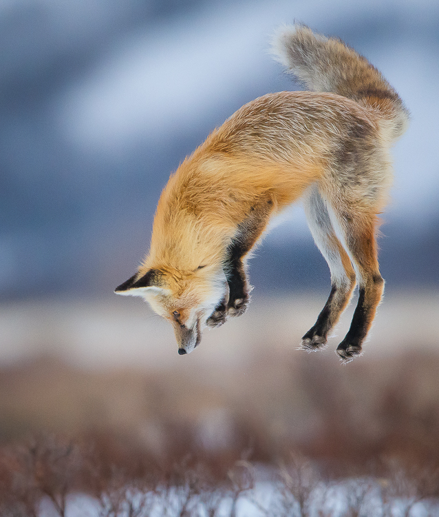 Jackson Hole Photography Tours - Fox
