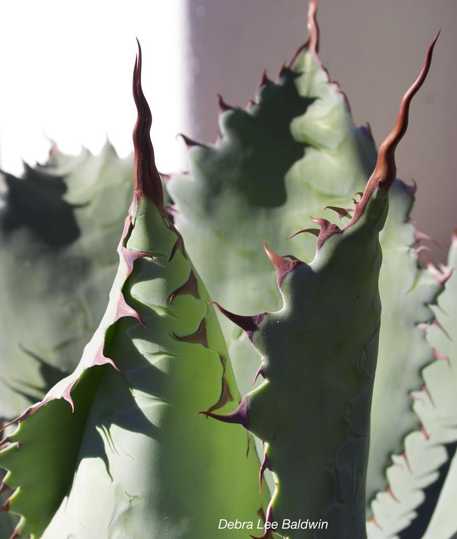 Agave fangs