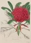 Ballarat Art Gallery - Maund Telopea Speciosissima