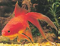 Photo of a goldfish