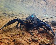The critically endangered hairy marron underwater